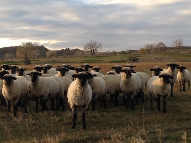 The Smith's sheep stand together as the sun sets.