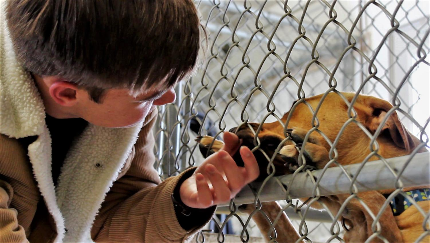 Jade, one of the many dogs currently up for adoption at the Park County Animal Shelter, licks Powell High School freshman Jace Bohlman's hand through her kennel.