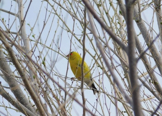 The subject of much ferocious debate, a bird of questionable authenticity perches on a branch.
