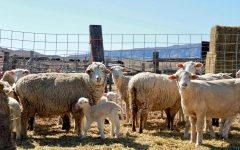 Sheep at the Schatz's ranch last March. Agriculture and livestock, like these sheep, are a big part of Wyoming's economy.