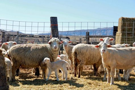 Sheep at the Schatz's ranch last March. Agriculture and livestock, like these sheep, are a big part of Wyoming