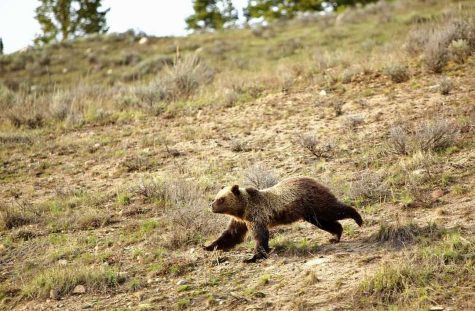 A grizzly bear charges down a hill in Sunlight Basin, northwest of Cody. Many precautions can be taken to avoid dangerous situations with grizzlies and other bears that populate Wyoming.